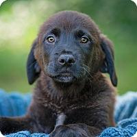 Adopt A Pet :: Leaf - Lewisville, IN