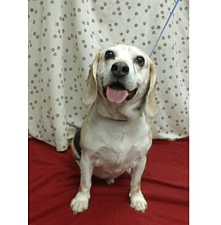Beagle Mix Dog for adoption in Waldorf, Maryland - Capone Hughes