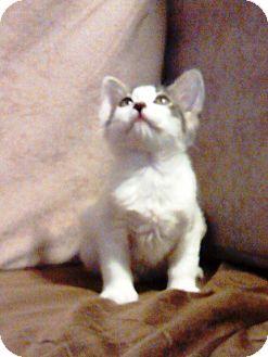 Domestic Shorthair Cat for adoption in Las Vegas, Nevada - Apollo
