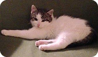 Domestic Shorthair Kitten for adoption in Horsham, Pennsylvania - Huey