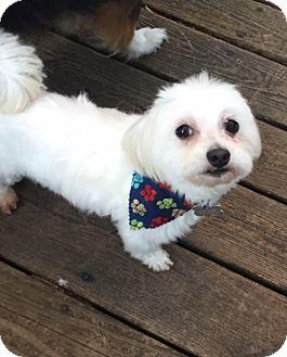 Maltese Dog for adoption in Greensboro, North Carolina - Nicholas - ADOPTION PENDING
