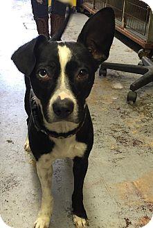 Boston Terrier/Chihuahua Mix Dog for adoption in La Verne, California - Wizard