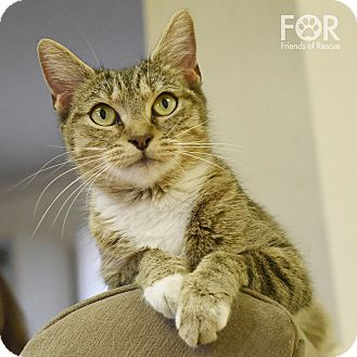 Domestic Shorthair Cat for adoption in Homewood, Alabama - Pinkie Pie