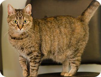 Domestic Shorthair Cat for adoption in Seneca, South Carolina - Palm $75