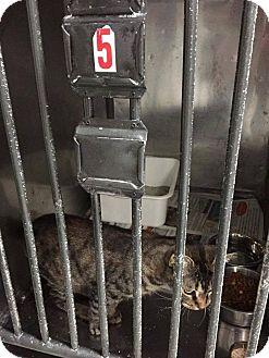 Domestic Shorthair Cat for adoption in THORNHILL, Ontario - Tessa Campanelli