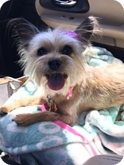 Yorkie, Yorkshire Terrier Mix Dog for adoption in Las Vegas, Nevada - Willow