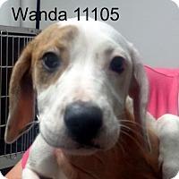 Adopt A Pet :: Wanda - Greencastle, NC