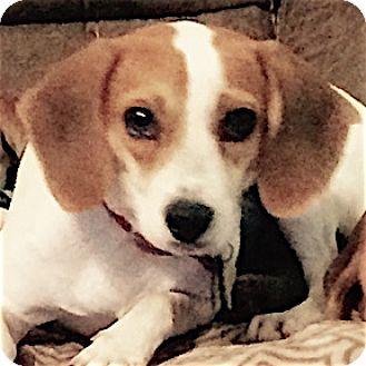 Beagle Dog for adoption in Houston, Texas - Mallory