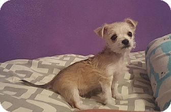 Chihuahua Puppy for adoption in Maryville, Illinois - Bailey