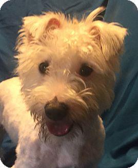 Westie, West Highland White Terrier/Poodle (Miniature) Mix Dog for adoption in San Leandro, California - Tobias