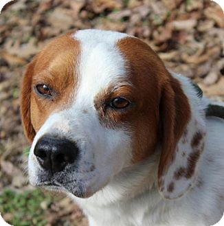 Beagle/Pointer Mix Dog for adoption in Harrisonburg, Virginia - Boone