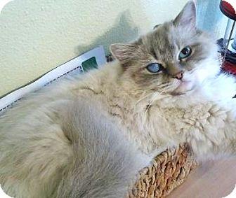 Ragdoll Cat for adoption in Davis, California - Rica