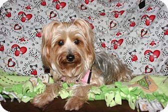 Yorkie, Yorkshire Terrier Mix Dog for adoption in Lodi, California - Sasha