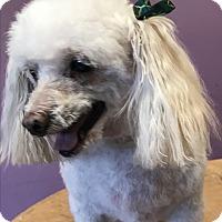 Adopt A Pet :: Bonnie - Lincolnwood, IL