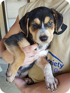 Shepherd (Unknown Type)/Australian Cattle Dog Mix Puppy for adoption in Olympia, Washington - Scout