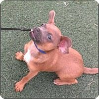 Chihuahua Dog for adoption in Tucson, Arizona - Buster