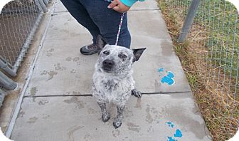 Blue Heeler Mix Puppy for adoption in Copperas Cove, Texas - Pepper