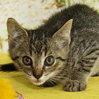 Domestic Shorthair Kitten for adoption in South Bend, Indiana - Jarvis