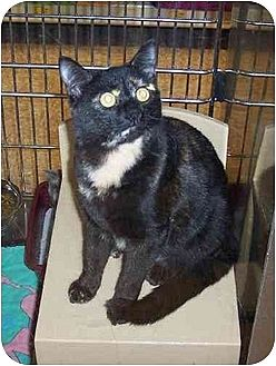 Domestic Shorthair Cat for adoption in Stuarts Draft, Virginia - Mocha