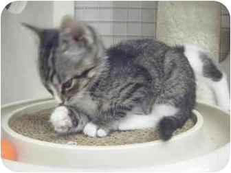 Domestic Shorthair Kitten for adoption in St. Louis, Missouri - Little Girl