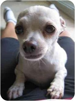Chihuahua Mix Dog for adoption in Calgary, Alberta - Daisy