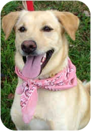 Labrador Retriever Mix Dog for adoption in Columbia, Illinois - Lindy