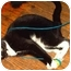 Photo 1 - Domestic Shorthair Cat for adoption in Toronto, Ontario - Grace