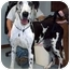 Photo 2 - Great Dane Dog for adoption in Guthrie, Oklahoma - Harlie