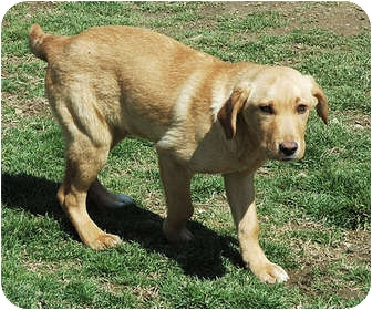 Labrador Retriever Mix Dog for adoption in Ripley, Tennessee - Jed