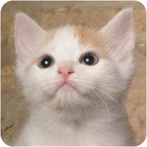 Domestic Shorthair Kitten for adoption in Chicago, Illinois - Johnny