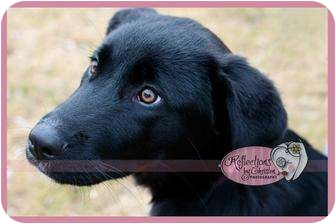 Labrador Retriever Mix Puppy for adoption in Haverhill, Massachusetts - Lucy