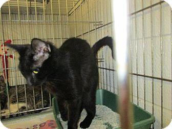 Domestic Shorthair Cat for adoption in Henderson, North Carolina - Boo