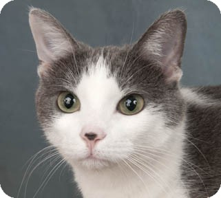 Domestic Shorthair Cat for adoption in Chicago, Illinois - Fanatic