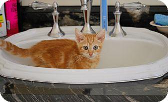 Domestic Shorthair Kitten for adoption in Trevose, Pennsylvania - Moon