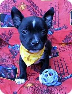 Chihuahua/Terrier (Unknown Type, Small) Mix Puppy for adoption in Irvine, California - Peter