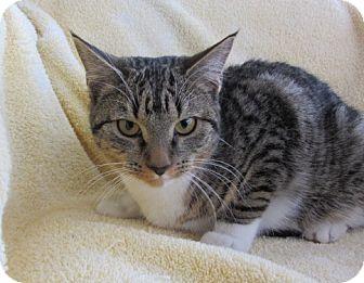 Domestic Shorthair Kitten for adoption in Ridgway, Colorado - Kami
