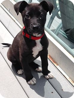 Labrador Retriever Mix Puppy for adoption in West Milford, New Jersey - MONTANA-pending