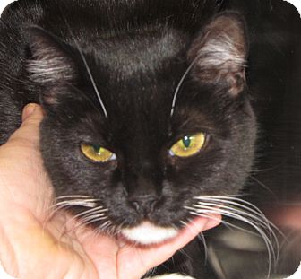 Domestic Shorthair Cat for adoption in Walden, New York - Rosie