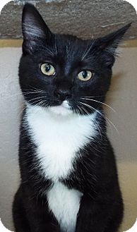 Domestic Shorthair Cat for adoption in Grants Pass, Oregon - Lincoln