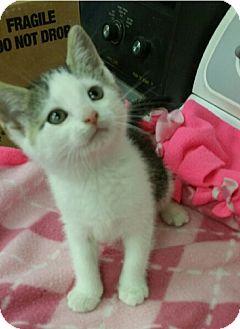 Domestic Shorthair Kitten for adoption in Albion, New York - Fizzle