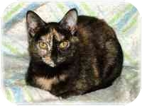 Domestic Shorthair Cat for adoption in Proctor, Minnesota - Bumper