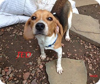 Beagle Puppy for adoption in Ventnor City, New Jersey - JED