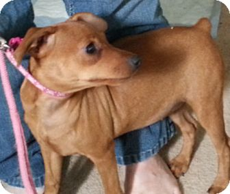 Miniature Pinscher Puppy for adoption in Holland, Ohio - Pebbles
