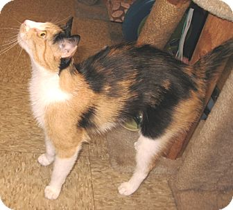 Calico Cat for adoption in Colmar, Pennsylvania - Lilly