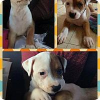 Adopt A Pet :: Bowzer - Rigaud, QC
