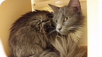 Domestic Longhair Cat for adoption in East Hartford, Connecticut - Darla (in CT)