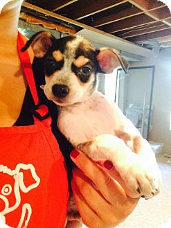 Chihuahua Mix Puppy for adoption in Chico, California - Toby