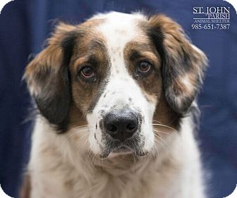 Mixed Breed (Large)/English Springer Spaniel Mix Dog for adoption in Laplace, Louisiana - Hudson