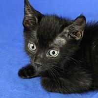 Domestic Shorthair Kitten for adoption in Winston-Salem, North Carolina - Spyder
