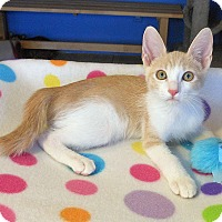American Shorthair Kitten for adoption in Glendale, Arizona - Hunter